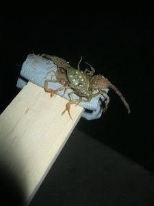 Captured Scorpions on a stick