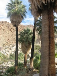 Palm Trees In Arizona